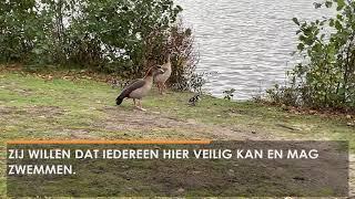 Komt er een veilige plek in Waalwijk om te zwemmen? De gemeente onderzoekt mogelijkheden (Video)