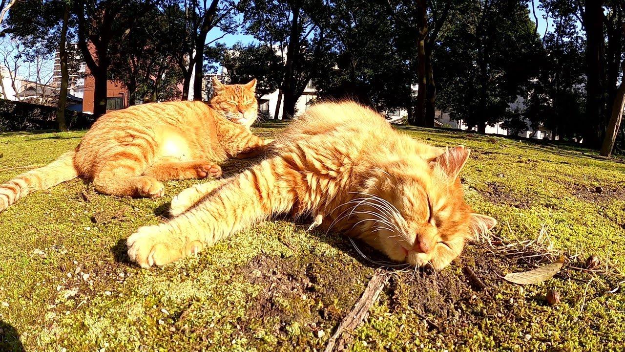 遊び疲れて一緒にお昼寝する仲良し茶トラ猫コンビ #猫 #cat #野良猫 #お昼寝 #仲良し #茶トラ #コンビ