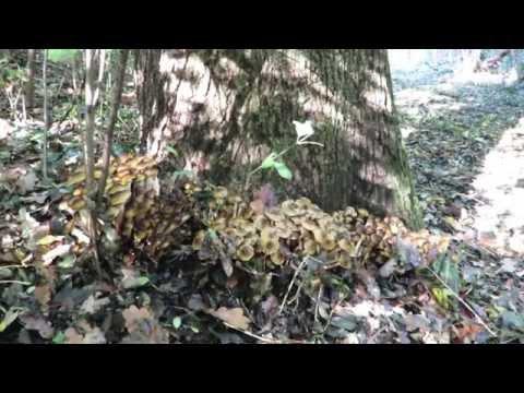 Trattamento di fungo di tè di un fungo di piede