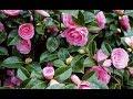 How to grow Camellia plant    how to care Camellia plant