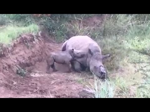 Baby rhino circles its dead mother