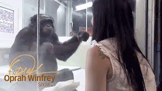 Kanzi the Ape Who Has Conversations with Humans   The Oprah Winfrey Show   Oprah Winfrey Network
