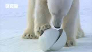 Very funny - Polar Bear wrecks Spy Cameras! - Polar Bear Spy on the Ice (David Tennant)