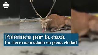 Polémicas imágenes de un ciervo acorralado por perros en Francia