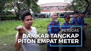 Petugas Damkar Tangsel Tangkap Ular Piton Sepanjang 4 Meter di Gorong-gorong Pamulang
