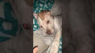 Chinese Shar Pei Puppies Videos