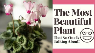 Cyclamen Plant Care Indoors For Beginners