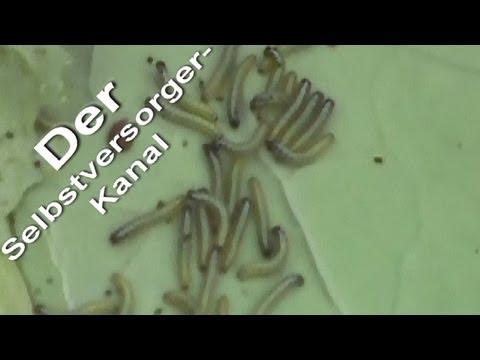 Kohlweisslinge Raupen im Garten bekaempfen