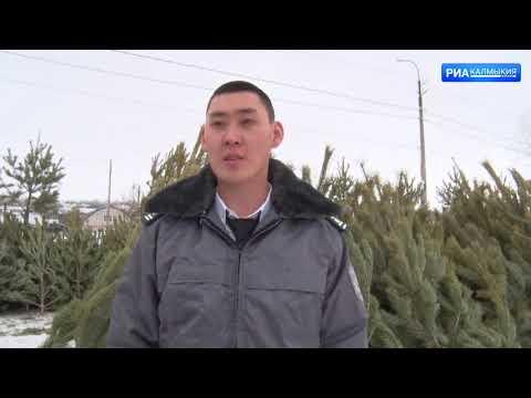 Управлением Россельхознадзора выявлено три факта ввоза хвойных деревьев без карантинных сертификатов на территорию Республики Калмыкия