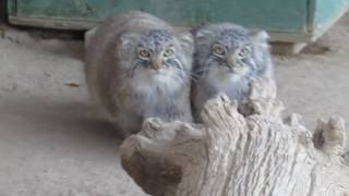 Pallas Cats kittens at 6.5 months