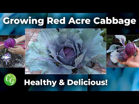 , title : 'How To Grow Red Cabbages - Red Acre Cabbage Growing Guide
