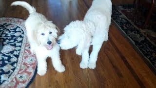 Living With Goldendoodles