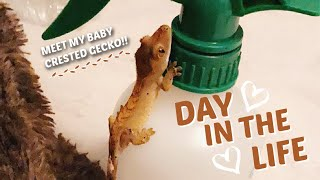 Daily Routine With A Baby Crested Gecko! + Care Tips!! 🦎