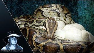 Incubating Burmese Python In Rain 01