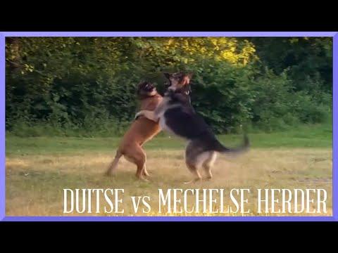 DUITSE vs MECHELSE HERDER