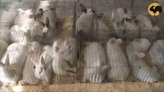 Смотреть онлайн Лучшие породы кроликов для мясного разведения