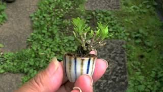 クチナシO梔子盆栽Gardeniajasminoidesbonsai