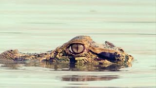 A Scottish Fly Moves In On A Scottish Caiman | Walk On The Wild Side | BBC Earth