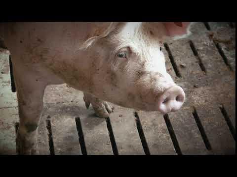 Schwein konventionell - Tiergesundheit