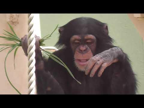 【東山動植物園公式】マシマシチンパンジー『第2回~ヤサイマシマシ~ 後編その①』