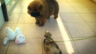 Cute Chow-chow puppy meets his ferret baby sister