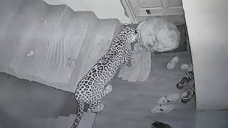 Leopard attack (original video)