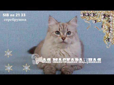 Сибирская кошка, Невская маскарадная Umeima (Умка)