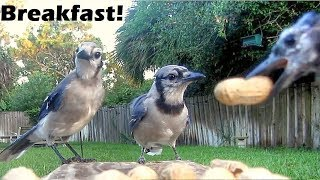 Blue Jay Breakfast Feeding Frenzy