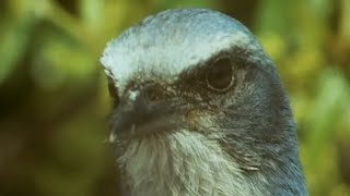 Birds Stealing From Other Birds   Trials Of Life   BBC Earth