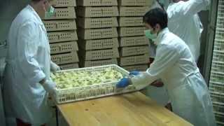 Agro Simpa Hatchery / Valionica pilića