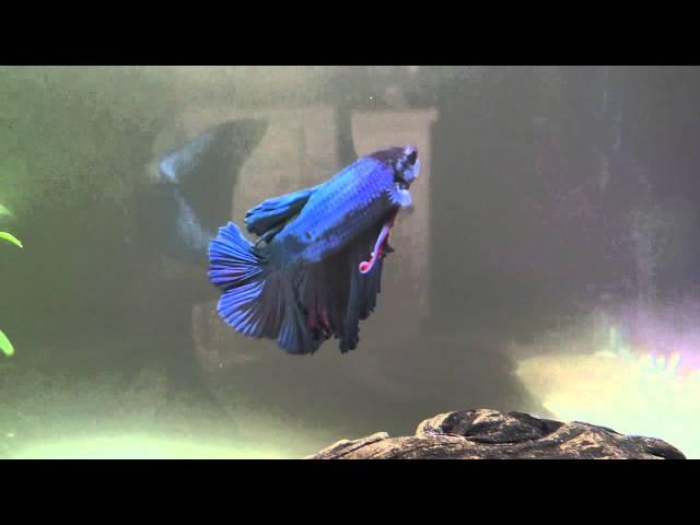 The beauty of Betta fish!