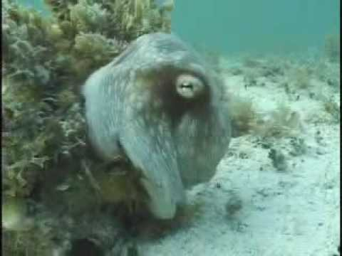 amazing Octopus underwater اخطبوط غريب سبحان الله