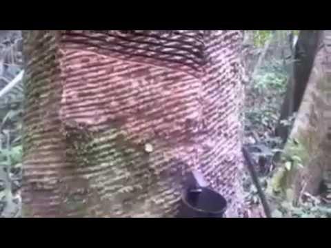 Seringueiro - Parque da Cigana