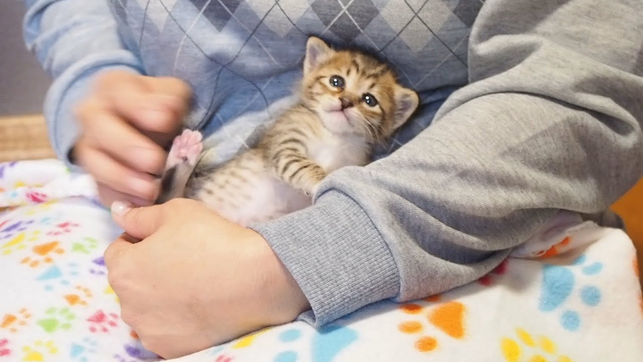 不安そうな子猫がお膝の上に乗ったら安心したのか仰向けになって甘えてくる。【赤ちゃん猫】【保護猫】