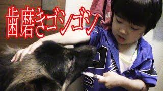 犬の歯磨き 秋田犬 シェパード犬と孫の響 Dog's Toothpaste
