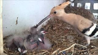 Hoopoe Nest (HD) V1 - Part 1 of 2