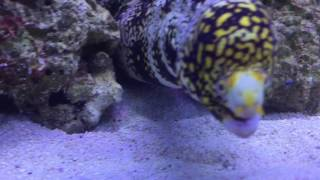 Worlds biggest Snowflake eel