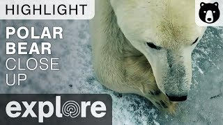 Extreme Close Up Of A Polar Bear - Live Cam Highlight