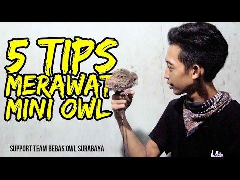 Video 5 TIPS merawat burung hantu tipe mini #BEBASOWLSURABAYA
