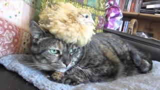 Смотреть онлайн Цыпленок очень любит дружить с кошкой