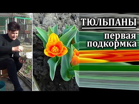 Уход за тюльпанами весной.Первая подкормка   Не пропустите