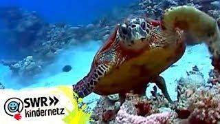 Meeresschildkröten bei OLIs Wilde Welt   SWR Kindernetz