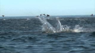 Manta Rays Jumping