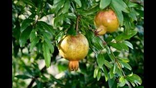 Investigación Fruta Granada