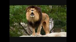 Evolution of Lions - Video Youtube