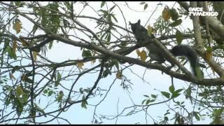 El libro rojo, Especies amenazadas - Jaguar, el señor de la noche