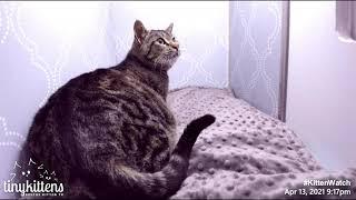 Pregnant feral cat intake - Kiwi!