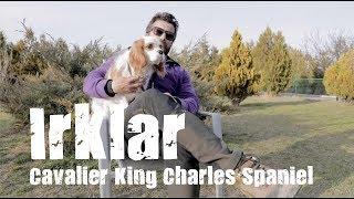 Köpek Irkları -  Cavalier King Charles Spaniel