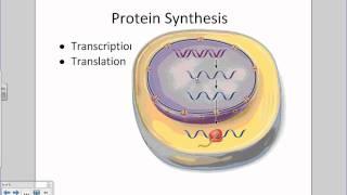 Nucleus, DNA, Transcription, Translation in a Nutshell.wmv