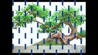 cây ổi đẹp nhất